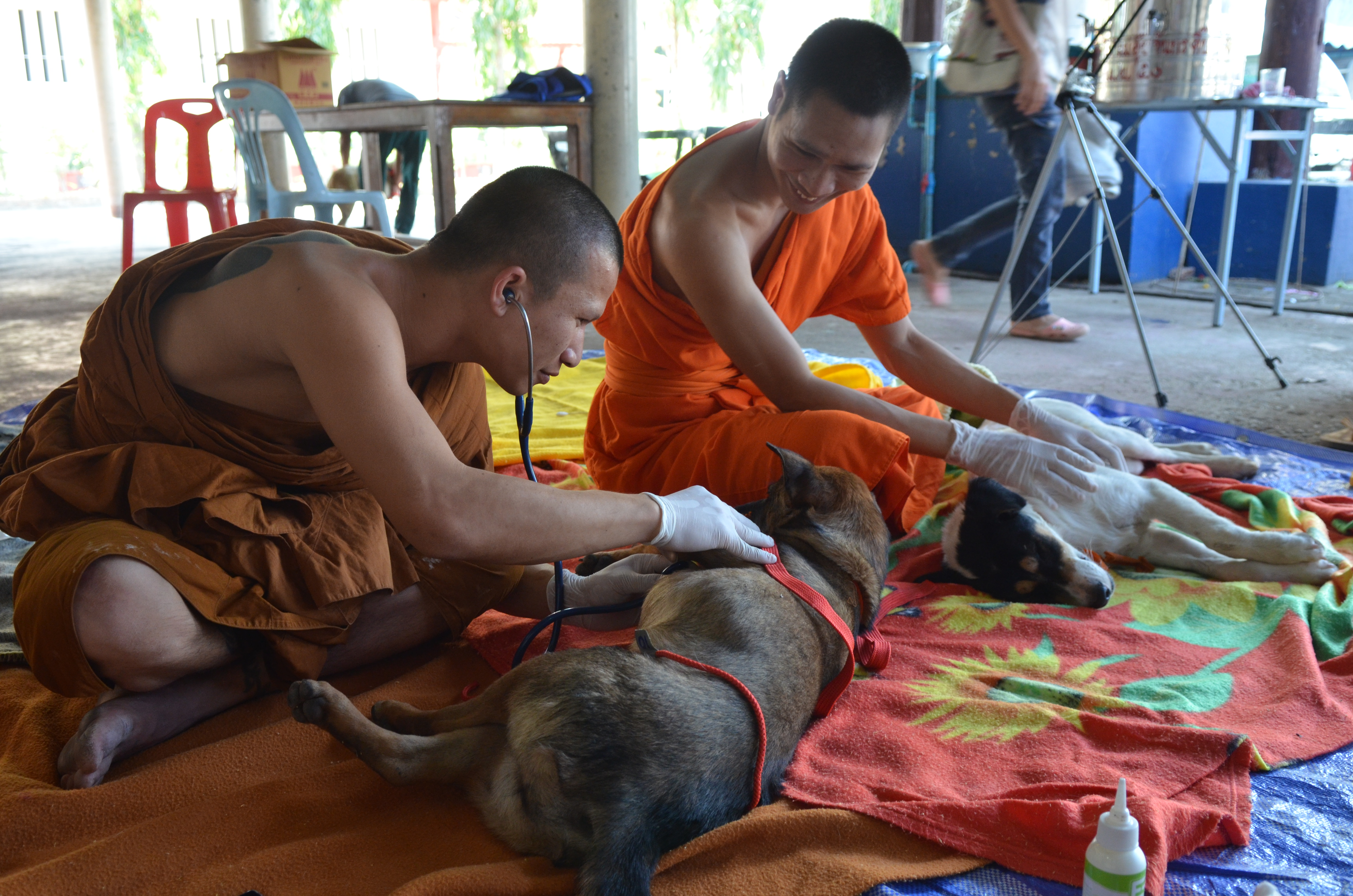 Post-surgery care of stray dogs in temples